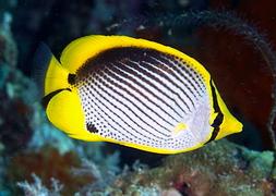 Черноспинная рыба-бабочка