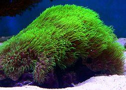 clavularia-viridis-green