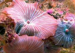 discosoma-stripe-giant-mushroom
