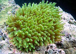 Пузырчатая актиния, зеленая
