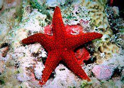 Морская звезда красная
