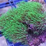 green-star-polyps