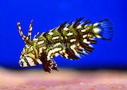novaculichthys-taeniourus-2
