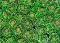 zoanthus-green