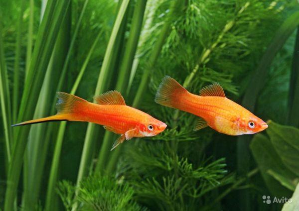 Маленькие аквариумные рыбки: фото, видео, названия