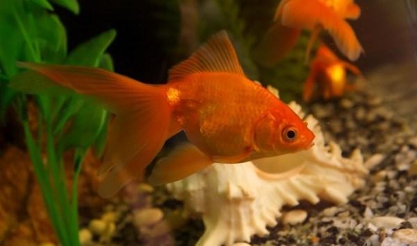 Виды Золотые Рыбки Фото