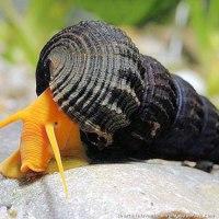 Egzotyczne ślimaki w akwarium.