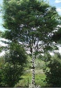 The dynasty of Dawud - like a Tree