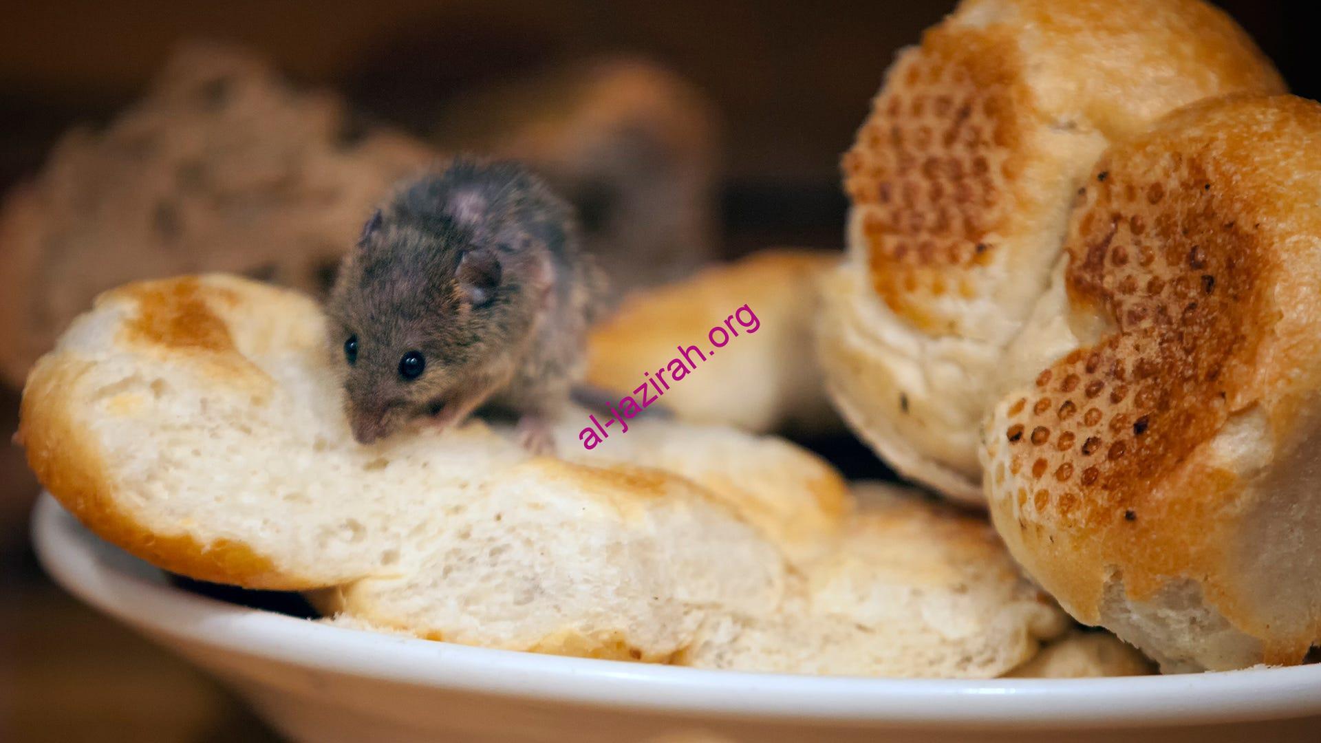 طعام يجذب الفئران