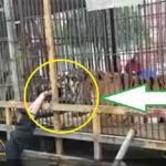 """بالفيديو… لحظة افتراس """"نمر"""" يد رجل مسن حاول إطعامه"""