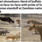 """شاهد .. معركة شرسة بين قطيع """"جاموس"""" و """"أسود"""" داخل محمية في زامبيا"""