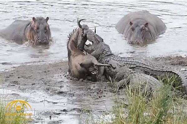 شاهد.. لحظة إنقاذ فرس النهر لـ «جاموس بري» من أنياب التماسيح!
