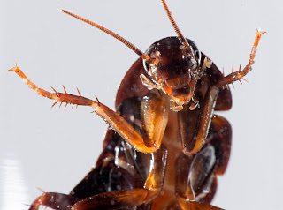 شركة مكافحة الصراصير بمكة شركة مكافحة صراصير بمكة 0500031519 Combating cockroaches in Mecca 1