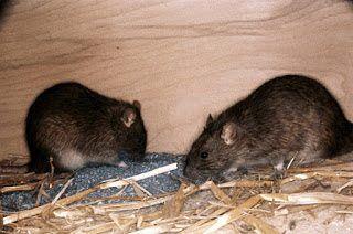 شركة مكافحة القوارض بالخرج شركة مكافحة قوارض بالخرج 0559154469 Anti rodent in Al Kharj