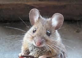 شركة مكافحة فئران بحائل شركة مكافحة فئران بحائل 0533942974 Anti rat Company Hail