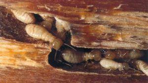 شركة مكافحة النمل الابيض بحائل  شركة مكافحة النمل الابيض بحائل 0533942974 Termite control company in Hail