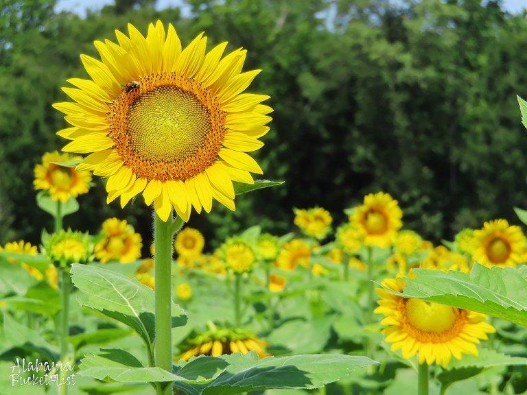 Sunflower Fields in Alabama-16
