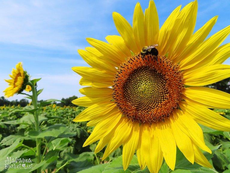 Sunflower Fields in Alabama-19