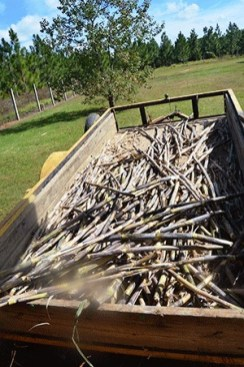 Sugar cane used to make the syrup is farmed by the men of Crossover Ministry. (Michele Gerlach/Andalusia Star-News)