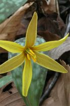 Trout Lily (Photo courtesy of Jessica Rice)