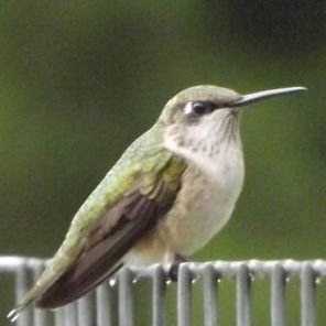 Female immature type ruby-throated hummingbird. (Photo courtesy of Tom Gordon and Vickie Harney.)