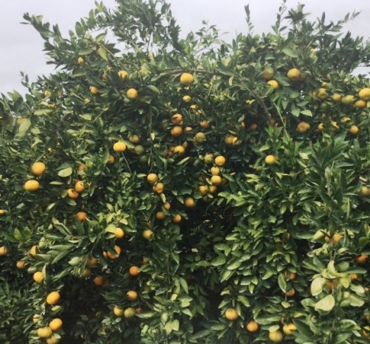 Satsumas are sweet, seedless and easy to peel. (Linda Brannon/Alabama NewsCenter)