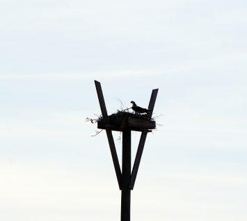 Osprey, Audubon Bird Sanctuary, Dauphin Island. (Erin Harney)