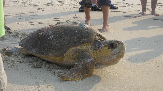 Volunteers help turtles clear hurdles on Alabama's Gulf Coast