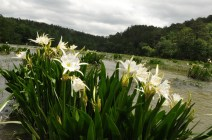 Lilies at Cahaba River National Wildlife Refuge. (U.S. Fish and Wildlife Service)