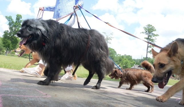 Sonya King walks some of the dogs her organization has saved in a Homewood park. (Karim Shamsi-Basha/Alabama NewsCenter)