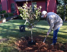 Carefully place dirt around the root ball. (Donna Cope/Alabama NewsCenter)