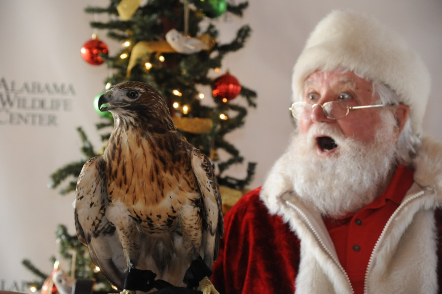 Even Santa Claus is amazed by AWC's Red-tailed Hawk. (Contributed)