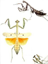 An illustration from Philip Henry Gosse's Entomologia Alabamensis, an unpublished collection of drawings and sketches of animals and plants, including 48 insects from Alabama. (From Encyclopedia of Alabama, courtesy of Auburn University Libraries)