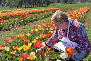 Poole picks tulips for a customer. (Donna Cope/Alabama NewsCenter)