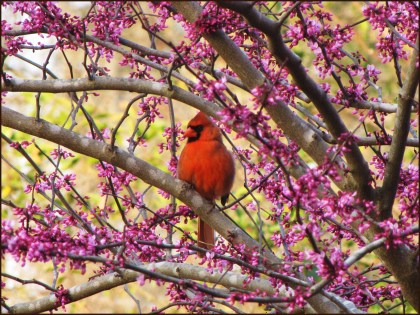 Cardinal in a redbud tree. (Getty Images)