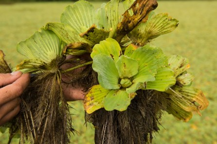 Waterlettuce is one of the worst aquatic plants on Alabama Power lakes. (Phil Free/Shorelines)