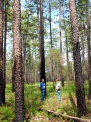 The Solon Dixon Forestry Education Center, located near Andalusia in Covington County, is a field facility for Auburn University's forestry and wildlife sciences program. The center covers more than 5,300 acres and was dedicated in 1980. (From Encyclopedia of Alabama, courtesy of Alabama Forestry Association)