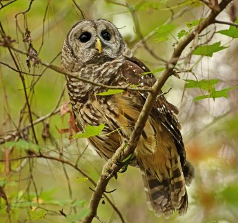 Barred owl at Kreher Nature Preserve. (Copyright © Lew Scharpf)