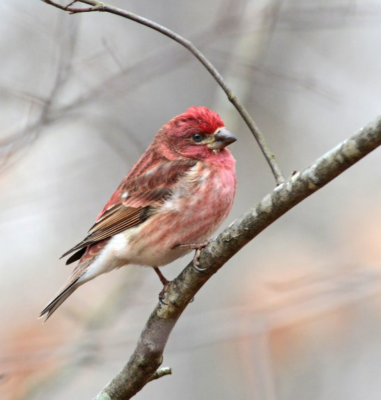 Purple finch at the Kreher Nature Preserve. (Copyright © Lew Scharpf)