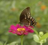 Spicebush swallowtail at the Kreher Nature Preserve. (Copyright © Lew Scharpf)