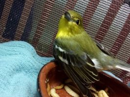 Yellow-throated vireo. (Alabama Wildlife Center)