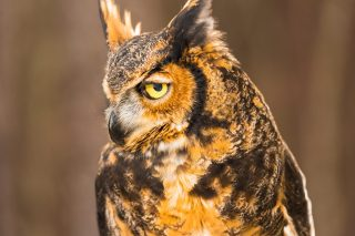 Great horned owl, one of the education ambassadors at the AWC. (Phil Free)