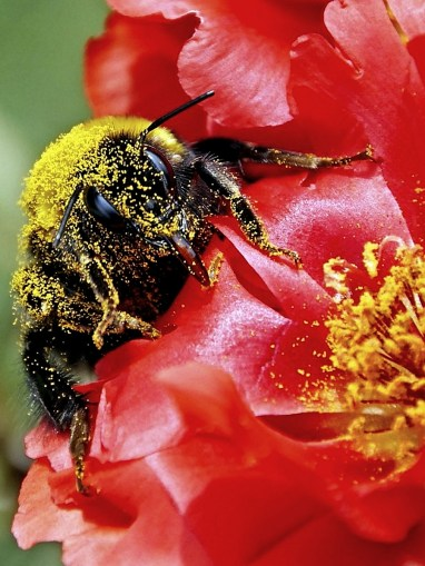 A bumblebee pollinates on a flower. (Getty Images)