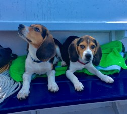 Beagles Cap'n Jack Sparrow and Scout will ride along with the sailors. (Photo/Michelle Segrest)