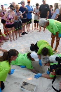 Share the Beach volunteers give baby sea turtles the best possible chance at survival by making sure they head toward the surf instead of inland, where many perils await. (Karim Shamsi-Basha/Alabama NewsCenter)