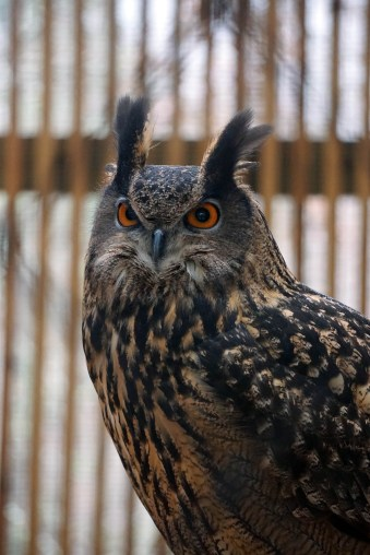Eurasian eagle owl, the largest owl species in the world, is a new education ambassador at the Alabama Wildlife Center. (Erin Harney / Alabama NewsCenter)