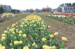 See what's blooming at the Festival of Tulips. (Contributed)