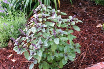 African Blue Basil is one of the featured plants at this year's Birmingham Botanical Gardens Spring Plant Sale. (Birmingham Botanical Gardens)