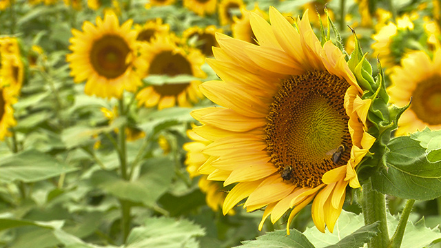 The Sunflower Field draws thousands to small Alabama town