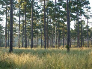 Sunrise in a longleaf pine forest in Alabama's Wiregrass region. (contributed)